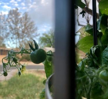 tomatotrellisjpg